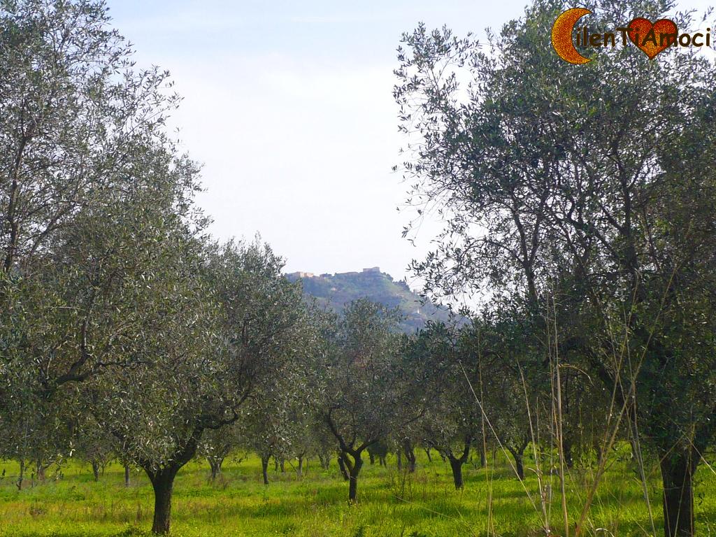 Ulivi, Alano di Castellabate